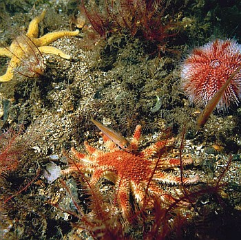 Firth of Lorn Underwater Life