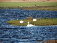 ardnave-loch-swans.jpg