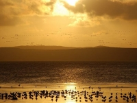 arrival-of-geese-at-loch-indaal-islay.jpg