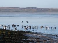 geese-at-springbank-islay.jpg