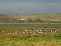 geese-loch-gruinart.jpg