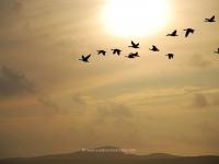 islay-geese-loch-indaal-sunset.jpg