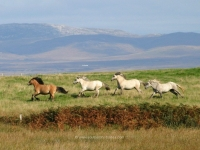 islay-ponies-jane-dawson.jpg