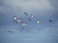 oystercatchers-on-islay.jpg