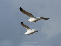 seagulls-in-flight.jpg