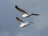 seagulls-in-flight.jpg