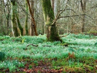 snowdrops-bridgend-woods-islay.jpg