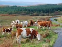 group-cows-south-jura.jpg