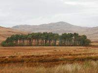group-of-pines.jpg