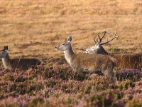 hind-calf-and-stag.jpg