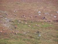 huge-group-of-red-deer.jpg