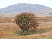 lone-rowan-tree.jpg