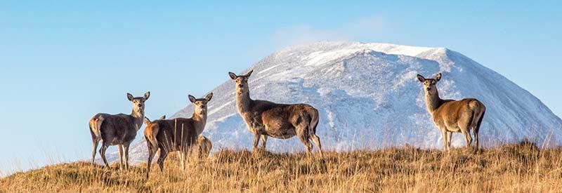 Red Deer Hindes Isle of Jura